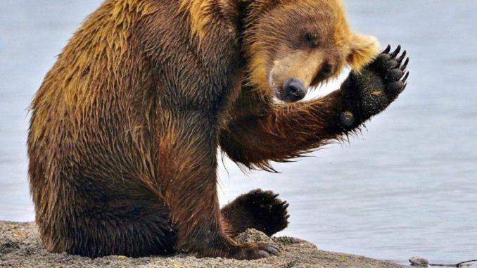 news.bitcoin.com00-russian-bear-kamchatka-061821890138d9b63c35509e81b49e74236ae6f3-678x381